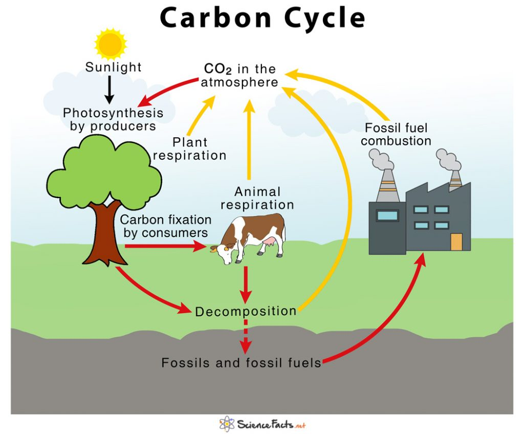 Carbon Cycle Diagram 1024x848 - Section 3: Cycles in Nature