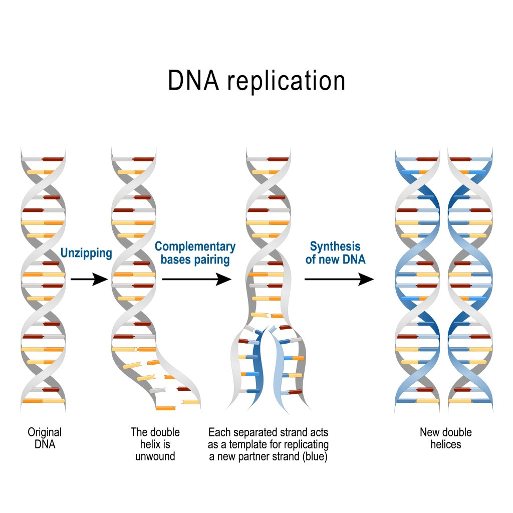 DNA replication 1024x1024 - Section 5: DNA Structure and Replication