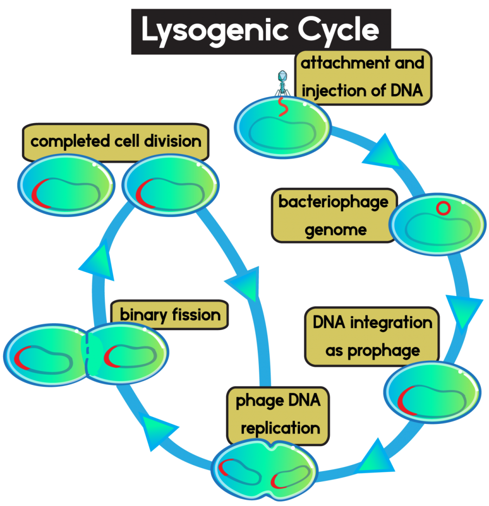 Lysogenic Cycle Labeled 988x1024 - Section 2: Viruses