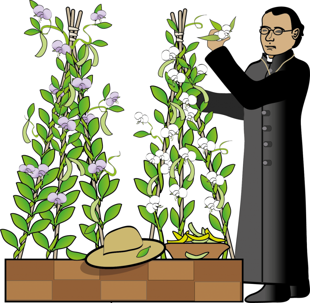 Mendel and Pea Plants 1024x999 - Section 1: The Work of Gregor Mendel