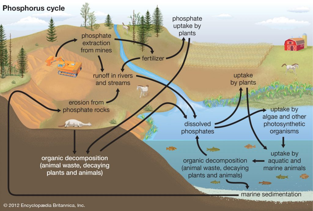 Phosphorus environments growth plants elements 1024x689 - Section 3: Cycles in Nature