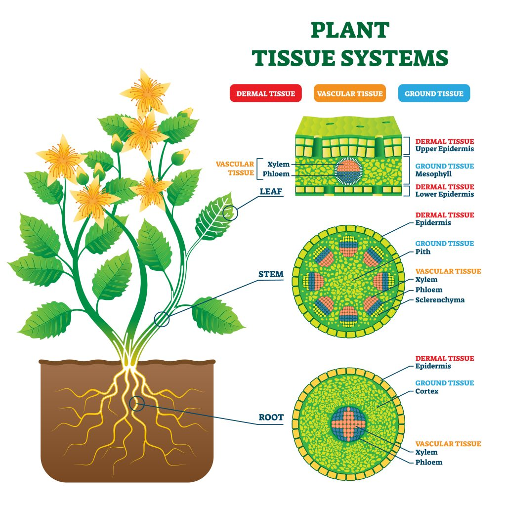 Planttissuesystems 1024x1024 - Section 5: Roots, Stems, and Leaves