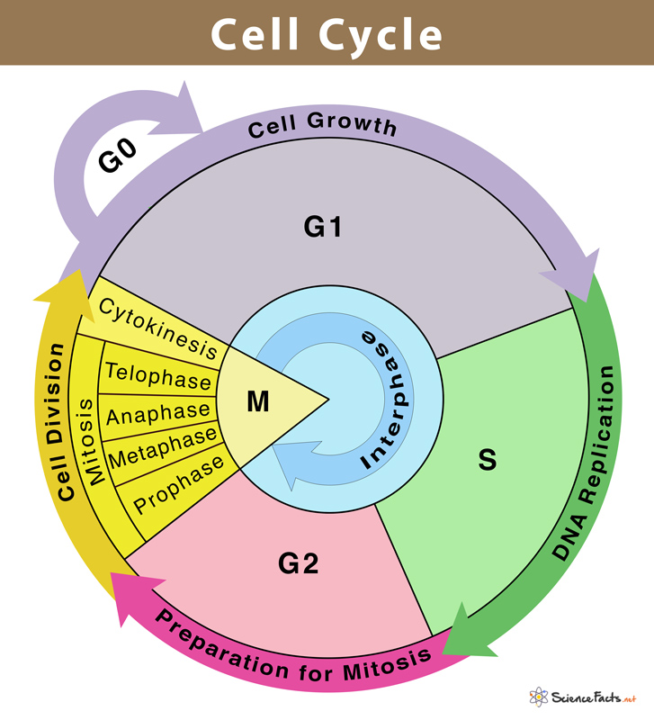 cell cycle - Section 3: Cell Cycle