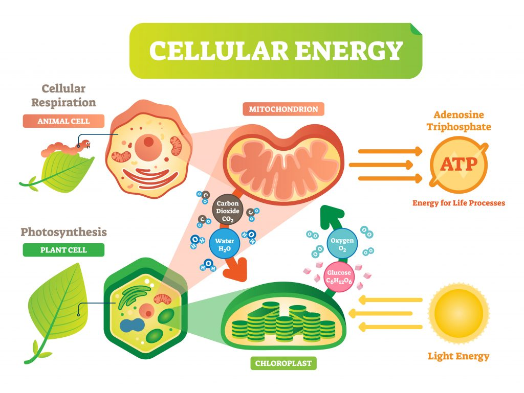 cellular energy 1024x769 - Section 2: Cellular Respiration