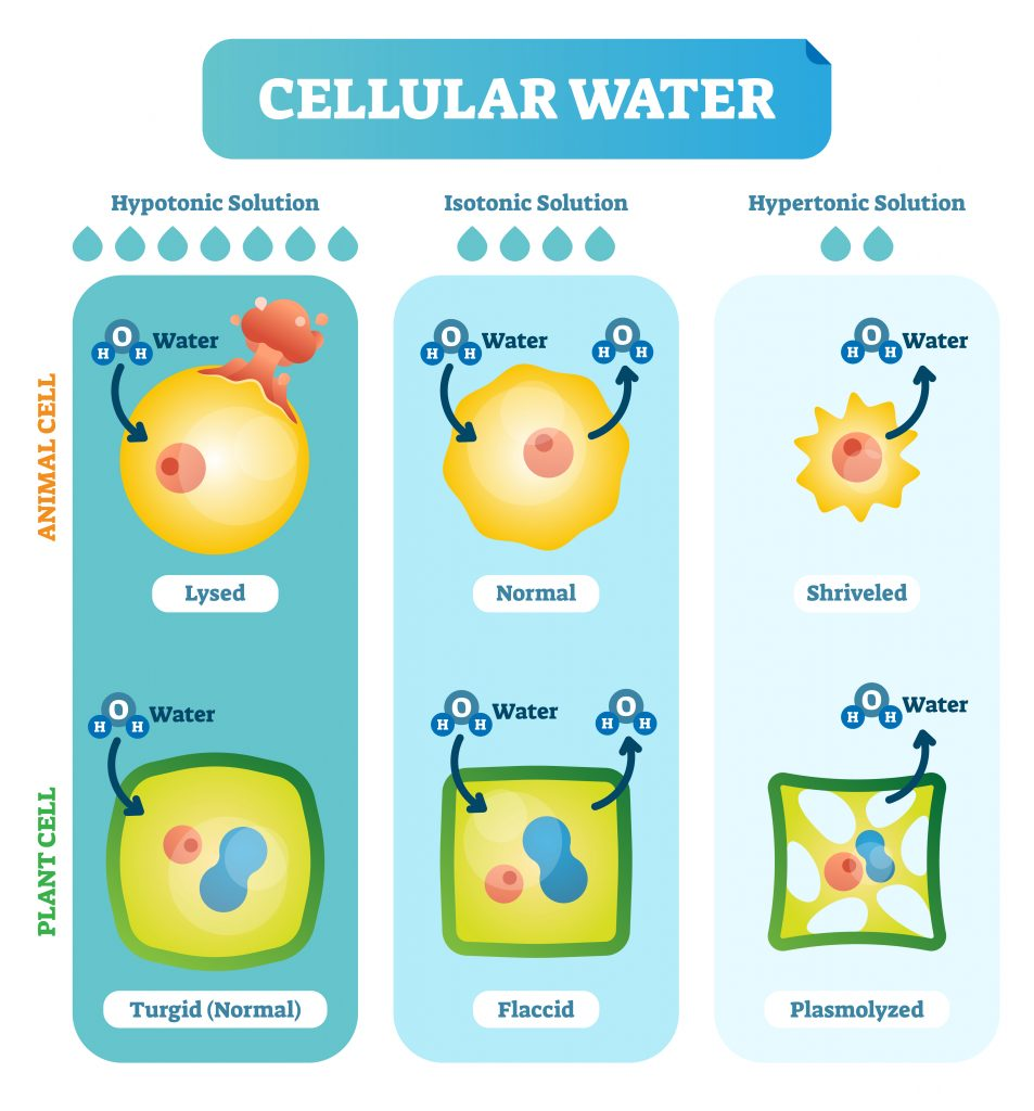 cellular water 953x1024 - Section 5: Cellular Transport