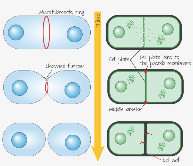 cytoinplantanimal - Section 3: Cell Cycle