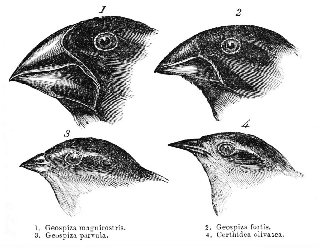 darwinfinches 1024x808 - Section 1: Darwin's Theory of Evolution