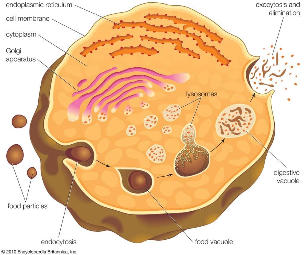 endocytosis 1024x852 - Section 5: Cellular Transport