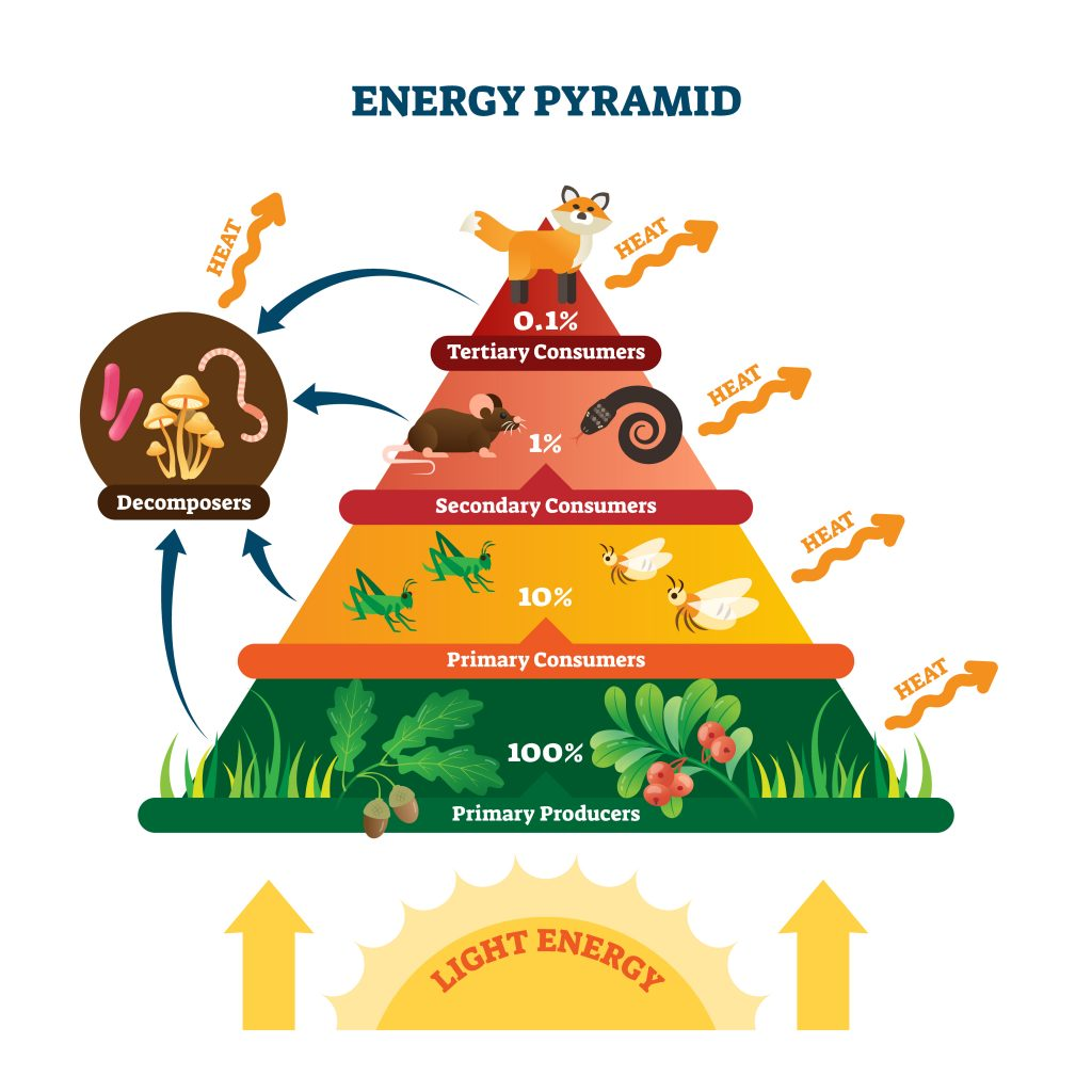 energy pyramid 1024x1024 - Section 2: Energy Flow in Ecosystems