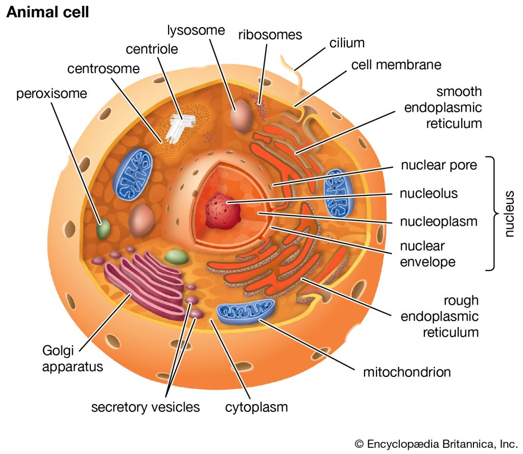 eukaryote 1024x890 - Section 3: Eukaryotic Cell Structure