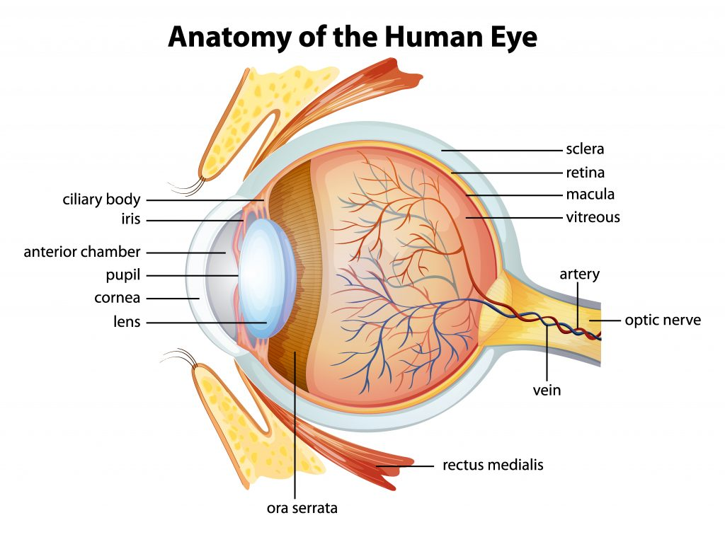 eye 1024x759 - Section 5: Lenses and Optical Instruments