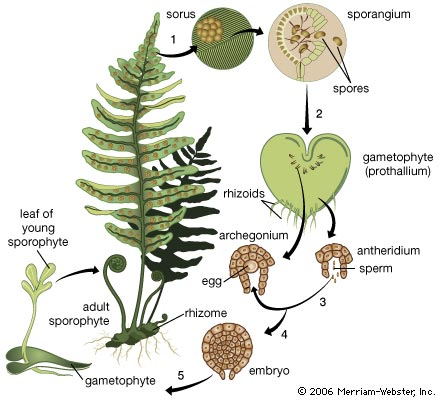 fernlifecycle - Section 2: Plants Without Seeds