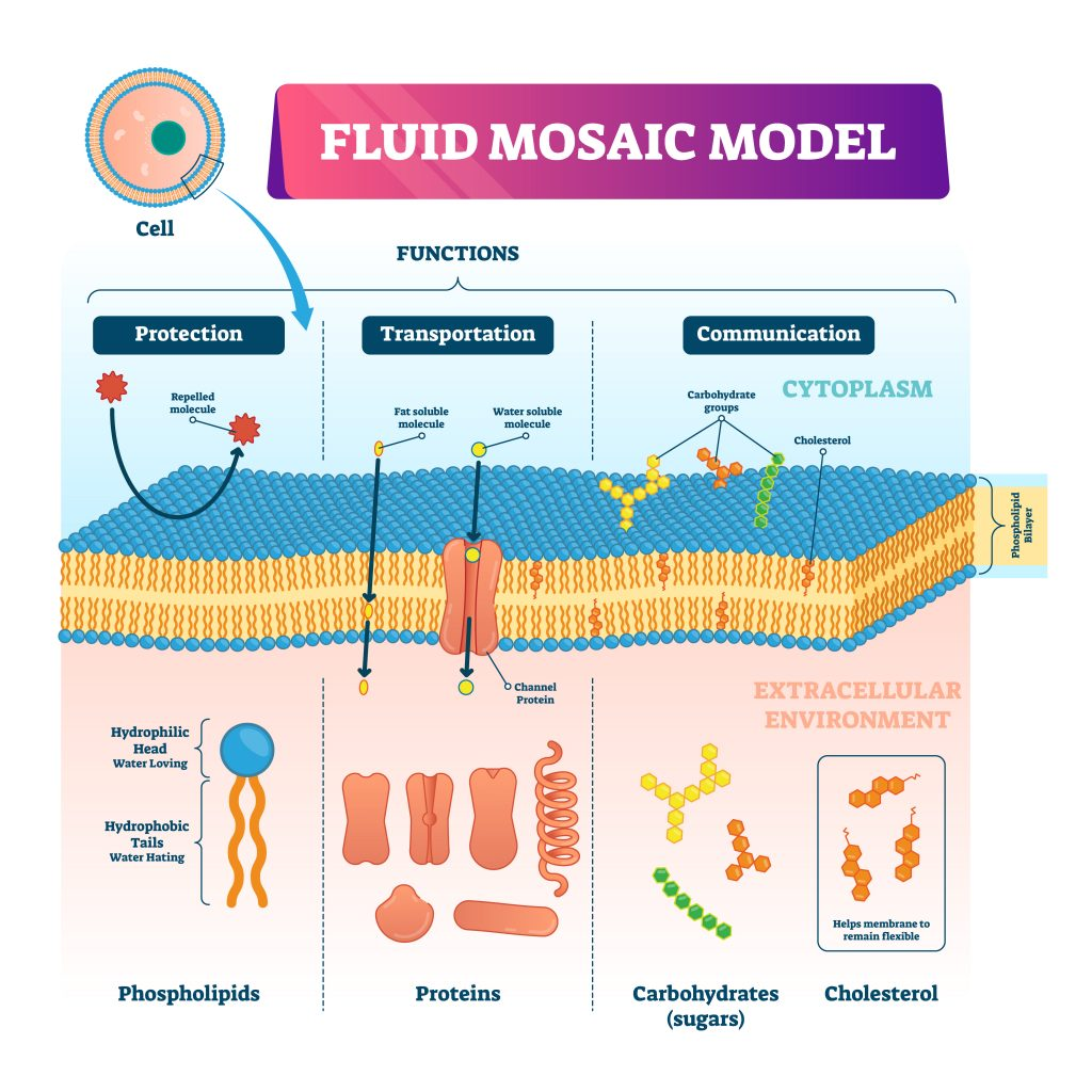 fluidmosiac model 1024x1024 - Section 2: The Plasma Membrane