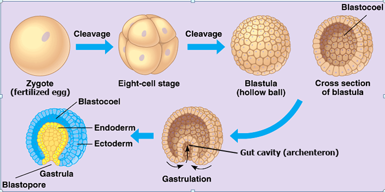 gastrulation - Section 1: Introduction to Animals