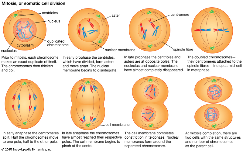 mitosisexplained - Section 4: Phases of Mitosis