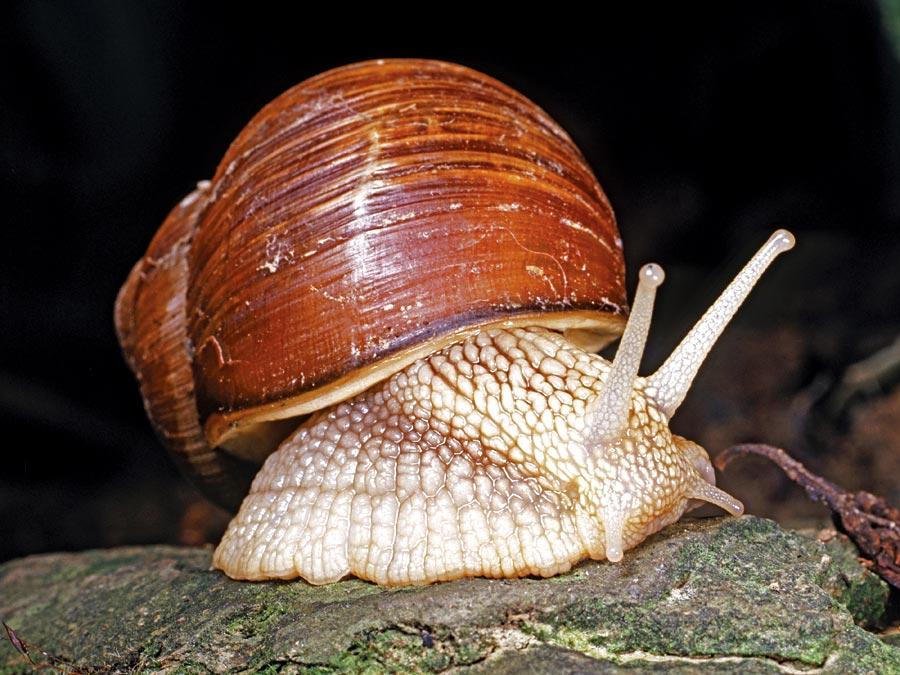 mollusk - Section 4: Mollusks, Arthropods, & Echinoderms