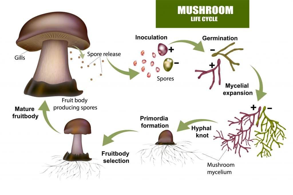 mushroom 1024x683 - Section 4: Fungi
