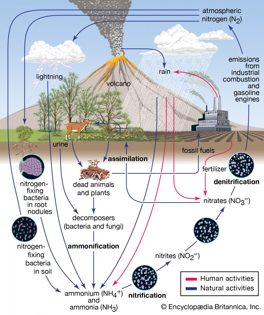 nitrogen cycle 858x1024 - Section 3: Cycles in Nature