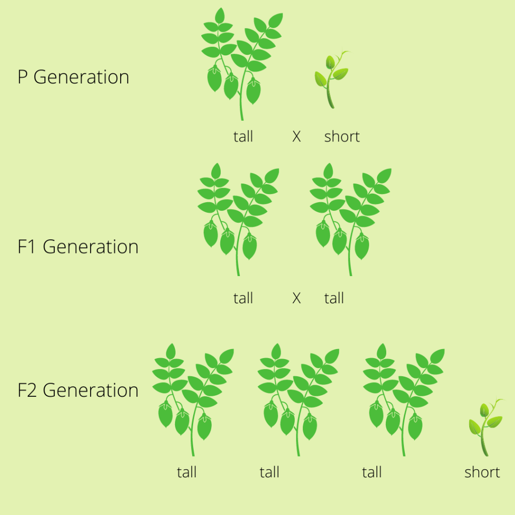 peaplant 1024x1024 - Section 1: The Work of Gregor Mendel