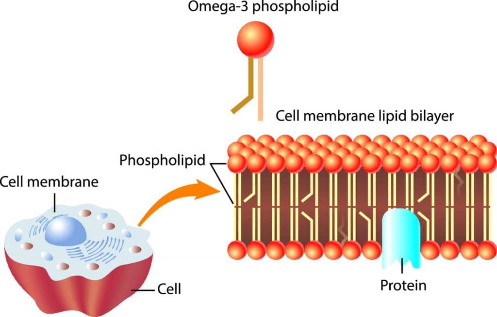plasma membrane 1024x655 - Section 2: The Plasma Membrane