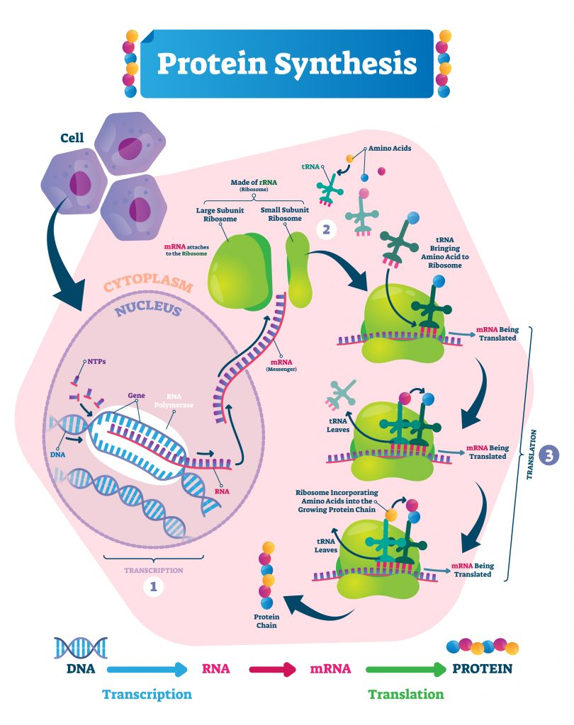 proteinsynthesis 810x1024 - Section 2: The Genetic Code