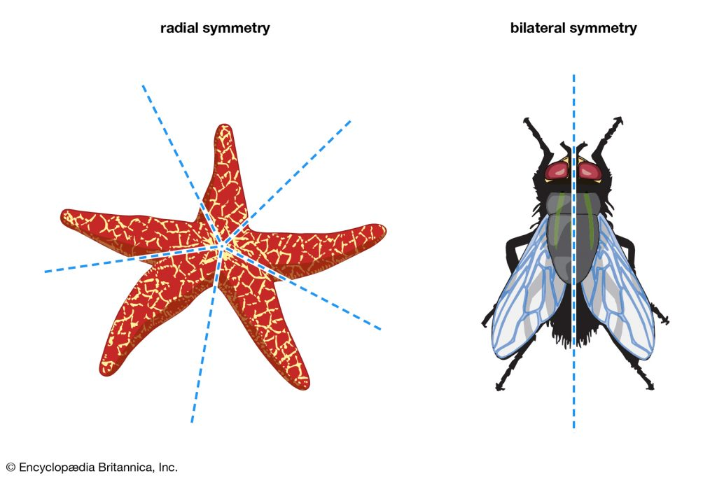 symmetry 1024x683 - Section 1: Introduction to Animals